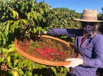 Agricultoras do Paraná se unem e produzem café especial no oeste do estado