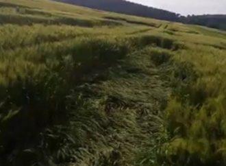 Vídeo: Agroglifos ou ação extraterrestre? Moradores de Palmeira registram fenômeno em plantação na cidade